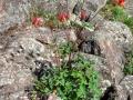 Acquilegia canadensis.jpg