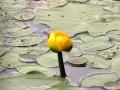 Bullhead Lily